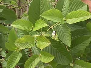 is kratom dangerous