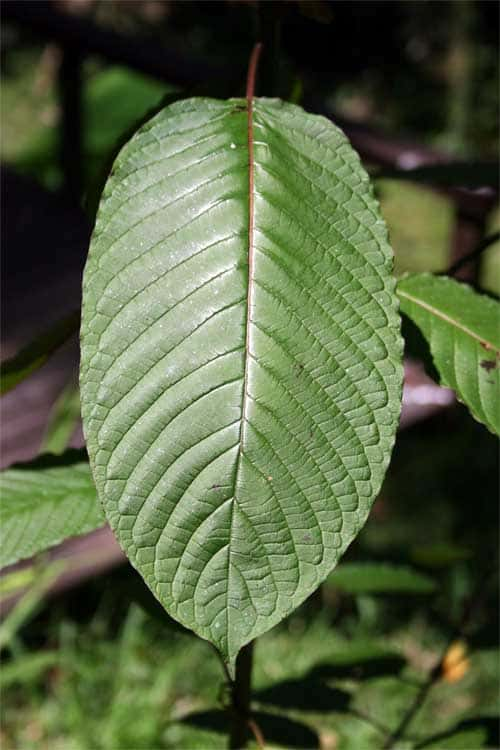 What Is Kratom Used To Treat