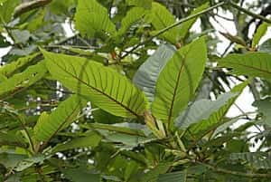 Kratom Herbal Drug