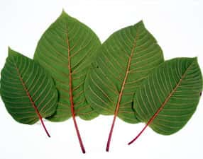 red vein kratom effects