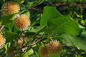 mitragyna parvifolia