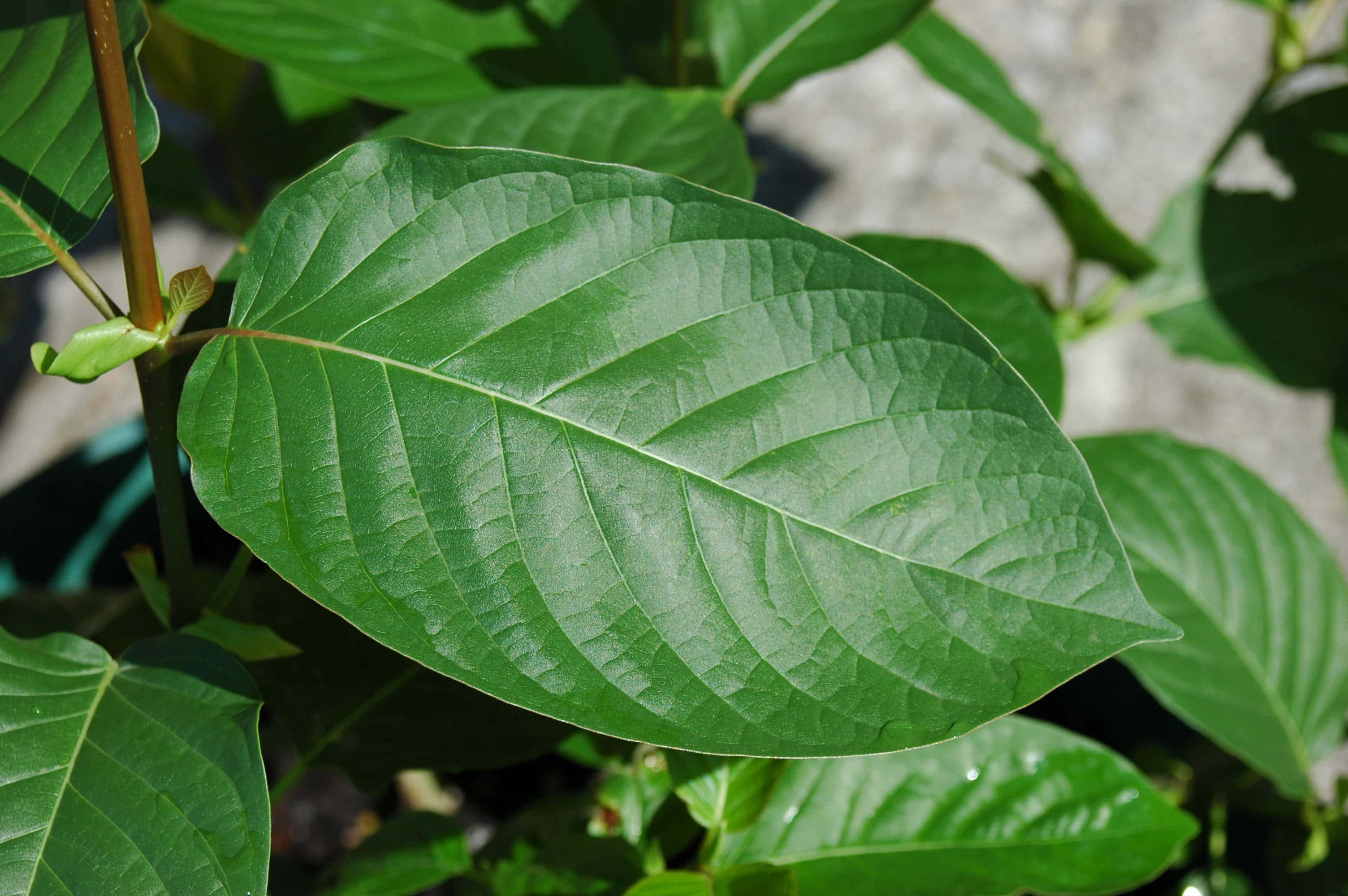 kratom benefits